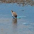 Bar-tailed godwit tidal strand Sandgate Bramble Bay Queensland P1090360.jpg