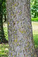 Bark of Acer pseudoplatanus.jpg