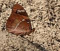 Baronet (Euthalia nais) in Kinnarsani WS, AP W IMG 5758.jpg