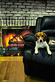 Baxter American Beagle By Fire.jpg