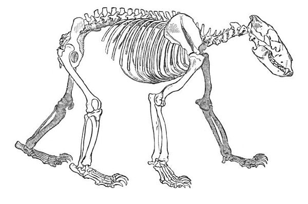Bear Skeletal Diagram - Auto Electrical Wiring Diagram •