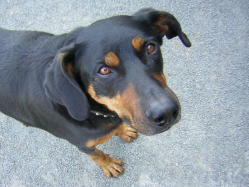 What Is The Kind Of Dog That Looks Like A Tall Skinny Rottweiler