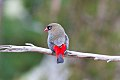 Beautiful Firetail (Stagonopleura bella) (8079707478).jpg