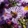 Bee on Michaelmas daisy Feeringbury Manor, Feering Essex England view 3.jpg