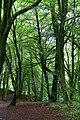Beech trees, Den o' Alyth - geograph.org.uk - 1420374.jpg