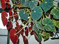 Begonia boveri2-reduzido.jpg