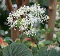 Begonia valida Flower.jpg