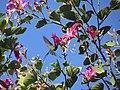Beija-flor-tesoura - Eupetonema macroura - Trochilidae - se alimentando nas flores de pata-de-vaca-rosa - Bauhinia blakeana 02.jpg