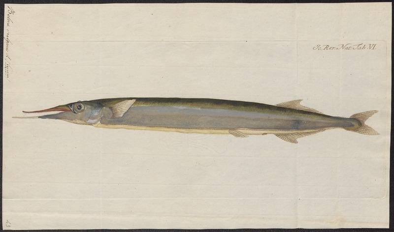 File:Belone vulgaris - 1700-1880 - Print - Iconographia Zoologica - Special Collections University of Amsterdam - UBA01 IZ14800109.tif