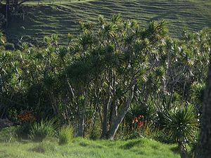 Te Henga (Bethells Beach) - Cabbage trees