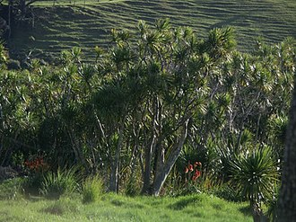 Kumeu - Cabbage trees in the area.