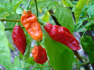 Scoville scale - The bhut jolokia (ghost pepper) is rated at over one million Scoville units. It is primarily found in the Northeast Indian states of Assam, Nagaland, and Manipur.