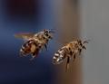 Bienen im Flug 52f aufpoliert.png