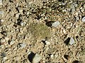 Biological soil crust (6541118461).jpg