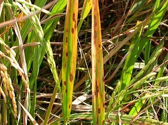 Echinochloa crus-galli - Brown spot Bipolaris oryzae