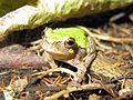 Bird-voiced Treefrog (Hyla avivoca) - Flickr - GregTheBusker (1).jpg