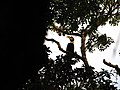 Bird Great Hornbill Buceros bicornis IMG 8659 05.jpg