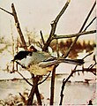 Birds and nature (1897) (20196211500).jpg