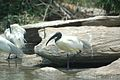 Birds from Indian Heritage from Protected place of Rangantittu.jpg