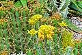 Blüte der Aloe Harlana (Africa) (9067380295).jpg