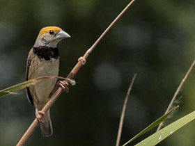 Black-breasted Weaver.jpg