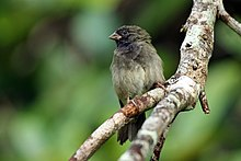 Black-faced grassquit (Tiaris bicolor) male.jpg