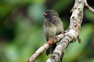 Black-faced grassquit - male, Jamaica