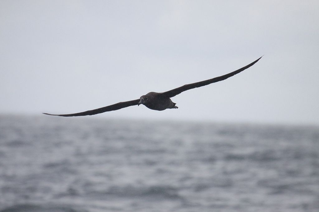 Black-footed Albatross (4464235096)