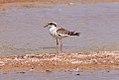 Black-fronted Plover (Elseyornis melanops) (8079593999).jpg
