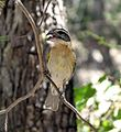 Black-headed Grosbeak. Female. Pheuticus melanocephalus - Flickr - gailhampshire.jpg