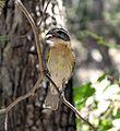 Black-headed Grosbeak. Female. Pheuticus melanocephalus - Flickr - gailhampshire.jpg