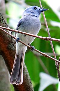Black-naped monarch or black-naped blue flycatcher (Hypothymis azurea) male.JPG