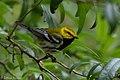 Black-throated Green Warbler (male) Fall Out Sabine Woods TX 2018-04-08 13-11-58 (41443066902).jpg