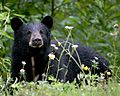 Black Bear in Alaska (1750394833).jpg