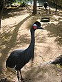 Black Crowned Crane (4148663681).jpg