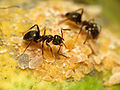 Black Garden Ant tending Citrus Mealybug (15876781048).jpg