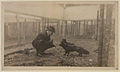 Black foxes owned by Spring Park Black Fox Company, Limited Photo F (HS85-10-26279).jpg
