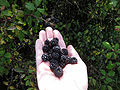 Blackberries on a right hand-8.jpg