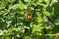 Blackburnian Warbler (7235561244).jpg