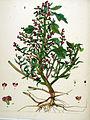 Blitum rubrum — Flora Batava — Volume v20.jpg