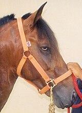 160px blood bay paso fino horse