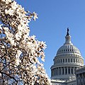 Blooms and blue skies at the Capitol today. (8612549799).jpg