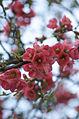 Blossom (3363200453).jpg