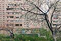 Blossomed tree in Yerevan, New Nork (1).jpg