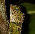 Blue-eyed Angle-headed Lizard (Gonocephalus liogaster) (15682079041).jpg
