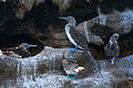Blue Footed Boobies.jpg
