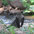Blue Monkey, Lake Manyara.jpg