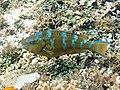 Bluebarred parrotfish (Scarus ghobban) (47642885111).jpg