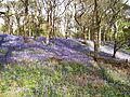 Bluebell Woods - geograph.org.uk - 74251.jpg