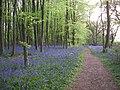 Bluebells (300846313).jpg